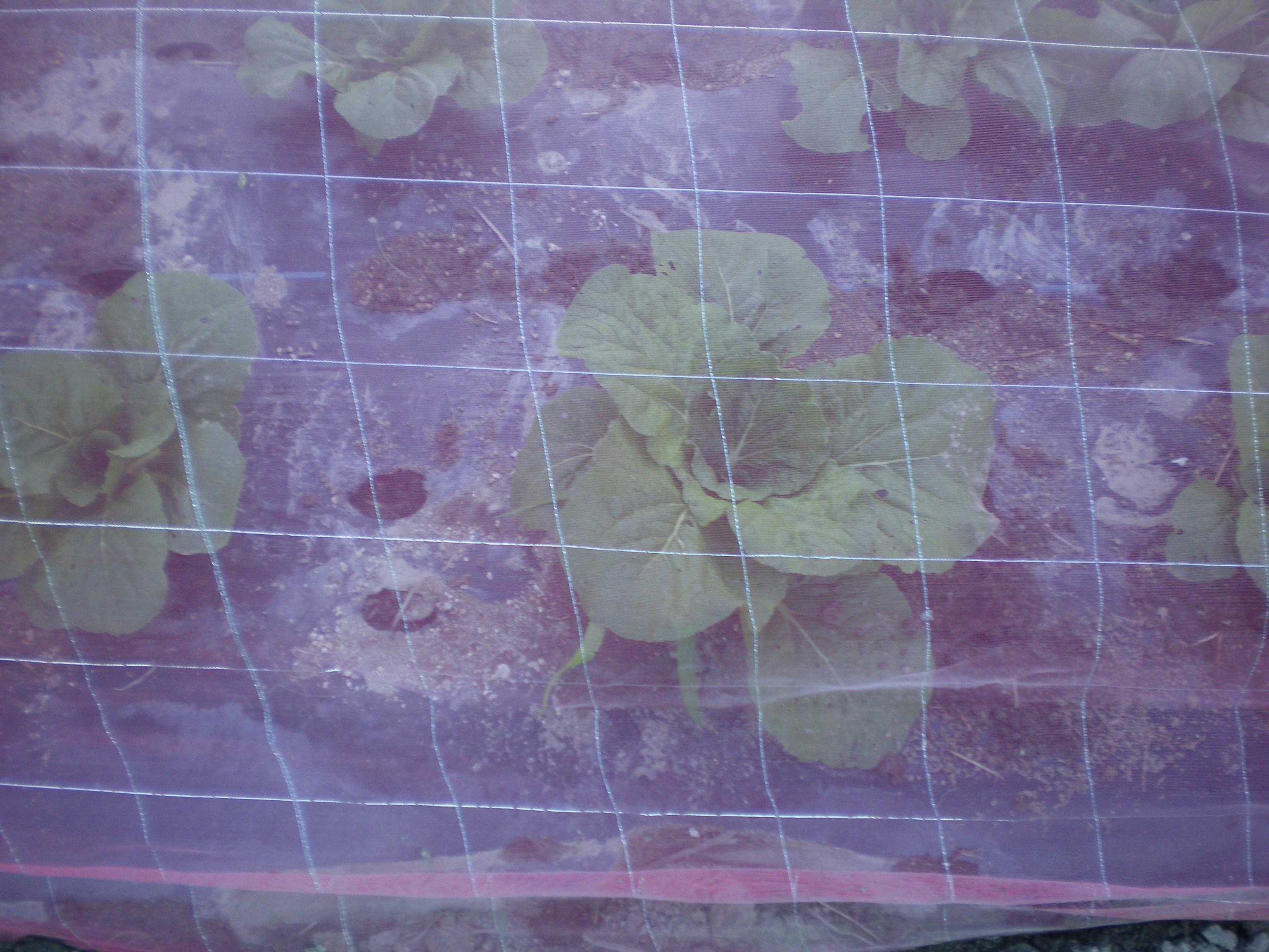 ピンクネット栽培